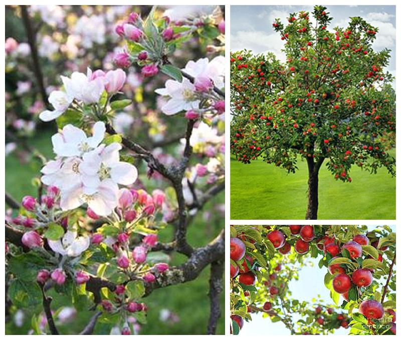 fruit trees in st. john's