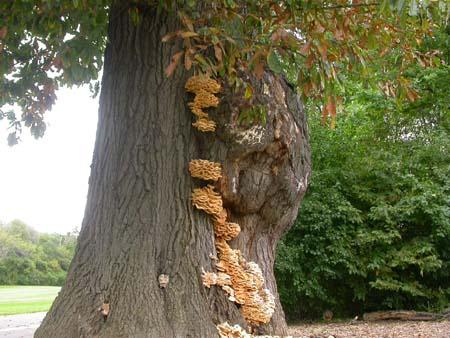 tree needing hazard assessment