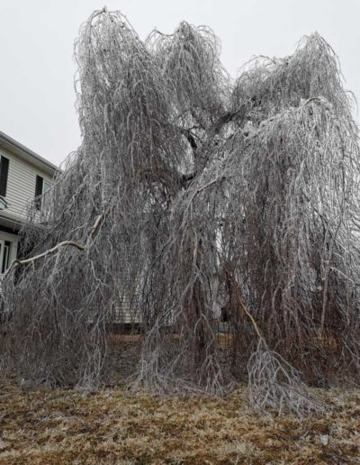 tree-after-ice-storm